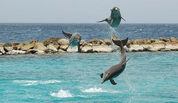 600x350-Curaçao_Sea_Aquarium_Dolphin_Show