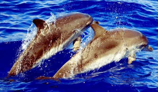600x350-dolfijnen-bij-gran-canaria